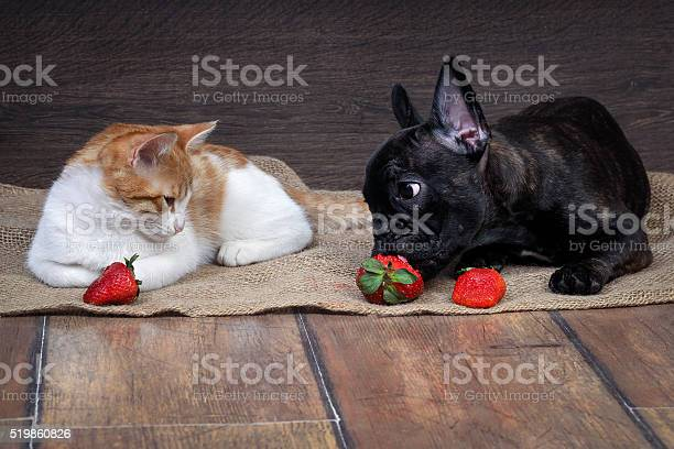 Dog cat and strawberry picture id519860826?b=1&k=6&m=519860826&s=612x612&h=qlfaqhb5s02syoukorb6ximoqhvv4vvfw ualt il78=