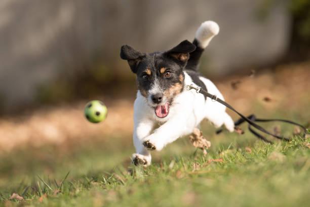 hund fängt fliegenden ball - jack russell terrier - fußball bundesliga live stock-fotos und bilder
