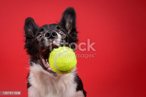 Funny moment of dog catching a ball in a studio set-up