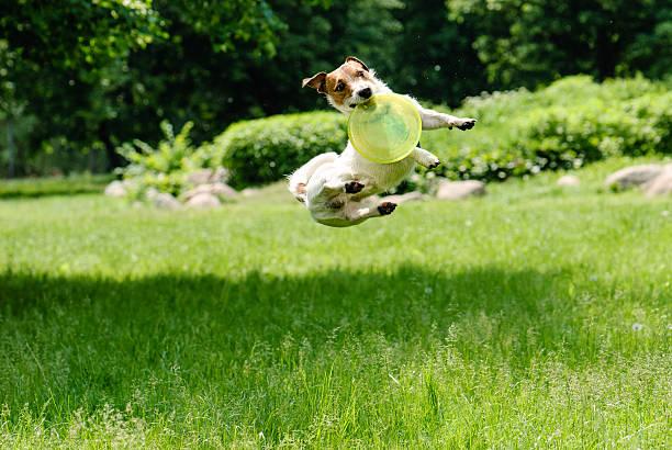 Dog catching frisbee at a high jump picture id508952252?b=1&k=6&m=508952252&s=612x612&w=0&h=jtljgmbeozlijuyoqfgd2asiz2jtsqyw 1snojwido4=