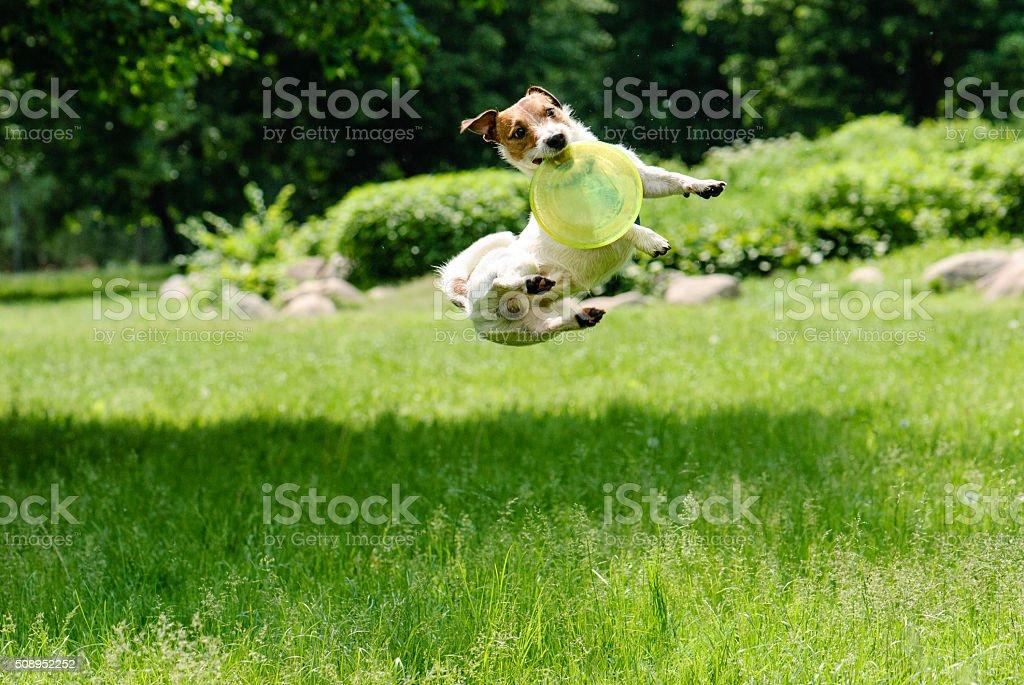 Chien regardant Frisbee à un saut en hauteur - Photo