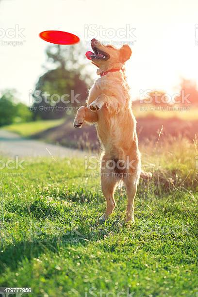 Dog catching frisbee picture id479777956?b=1&k=6&m=479777956&s=612x612&h=i0oydlzigdz7uaaku35qorlzsoeqheusqukkpvmeu6c=