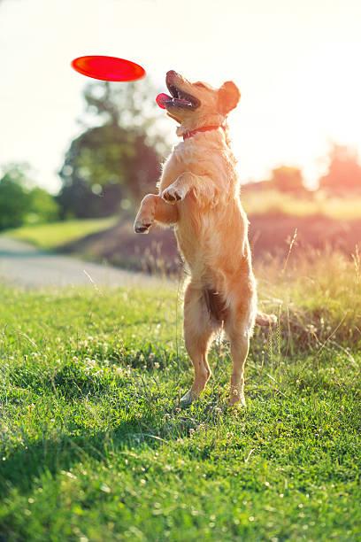 Dog catching frisbee picture id479777956?b=1&k=6&m=479777956&s=612x612&w=0&h=dyecy 5hkvifzspzyshnpyk4hjzpaid1xi7twl9iqzg=