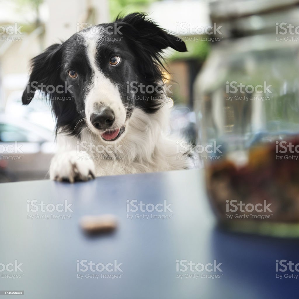 Dog Catching Snack stock photo