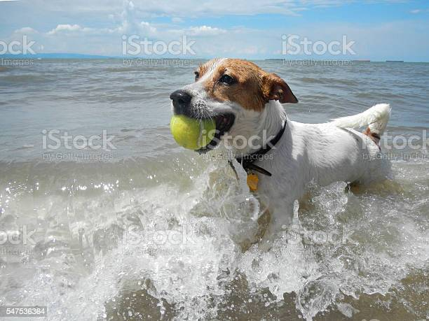 Dog catching the tennis ball in the beach picture id547536364?b=1&k=6&m=547536364&s=612x612&h=akodjfnrcnwoynv6iy3mvdr udjwwwjdhr boto2xju=