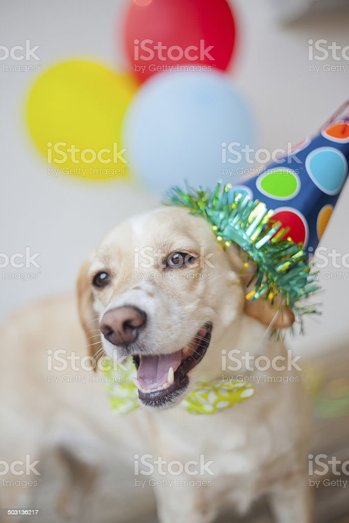 Dog celebrates birthday with hat and balloons. Yellow lab/beagle mix...