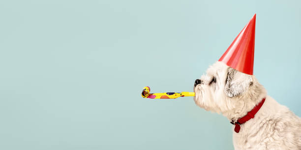 Dog celebrating with party hat Birthday dog celebrating with party hat and blow-out celebration stock pictures, royalty-free photos & images