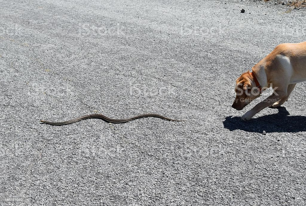 Dog Chases Snake A yellow Labrador retriever chases a gopher snake. 2015 Stock Photo
