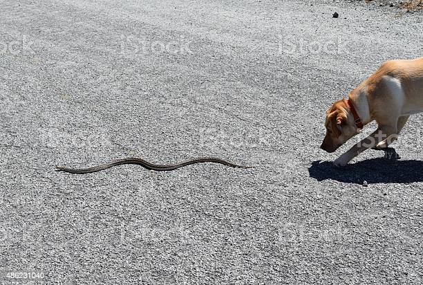 Dog Chases Snake Stock Photo - Download Image Now