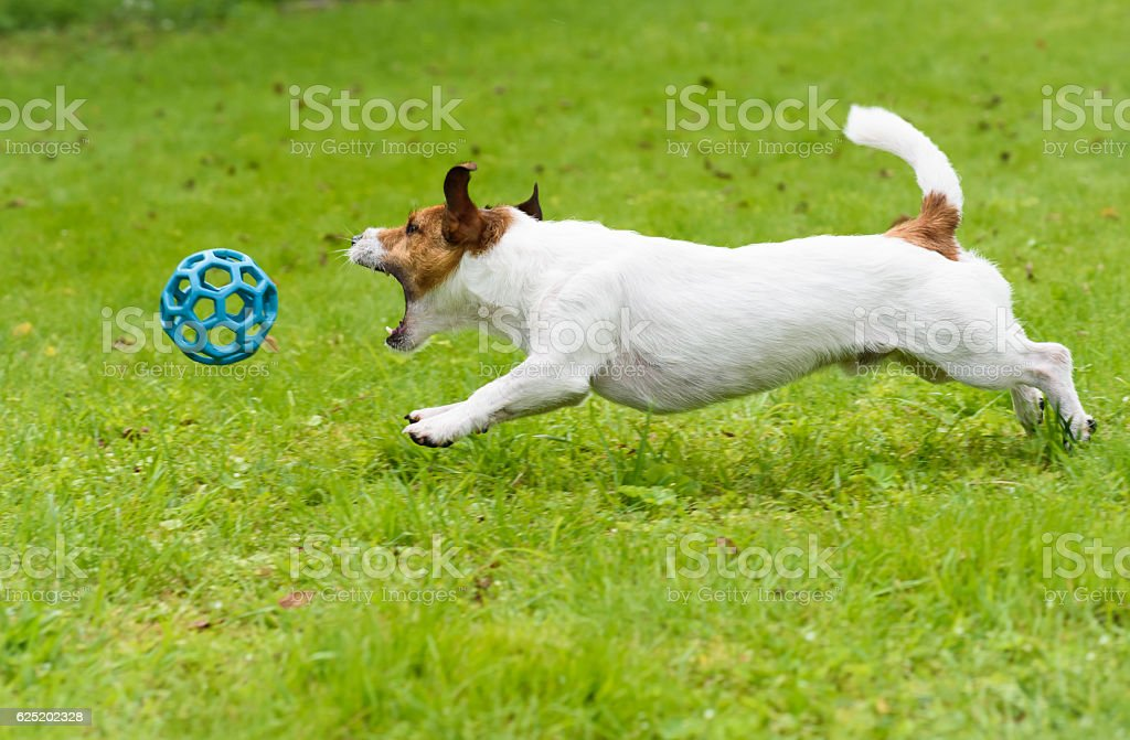Dog chasing and catching toy ball jumping on green grass stock photo