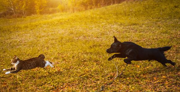 Dog, Animal, Pets, Domestic Cat, Chasing