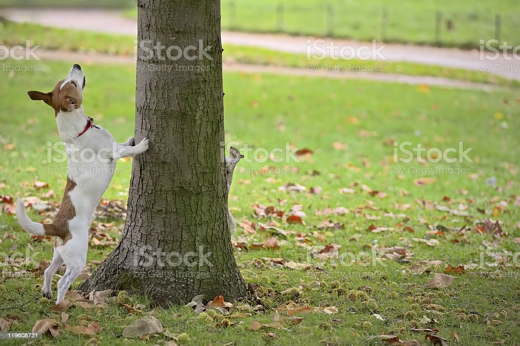 Dog chasing squirrel up tree, but it is hiding stock photo