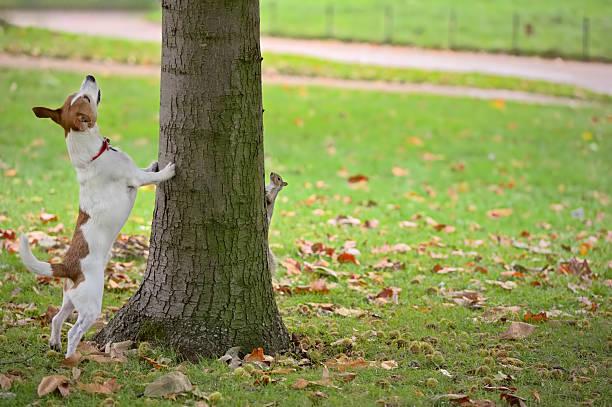 """chien, écureuil recherche """"arbre, mais c'est de se cacher - écureui photos et images de collection"""