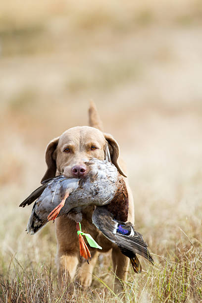 Perro: Cobrador de la bahía Chesapeake caza - foto de stock