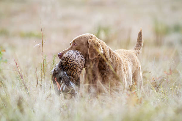 Dog: Chesapeake Bay Retriever with Bird Chesapeake bay retriever bringing in a downed mallard.  water bird stock pictures, royalty-free photos & images