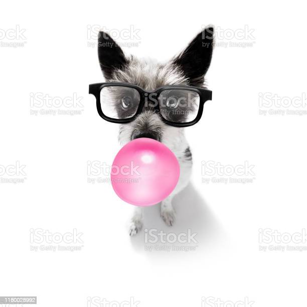 Dog chewing bubble gum picture id1180028992?b=1&k=6&m=1180028992&s=612x612&h=e2wa7jfcoxu9euoq3zb1n95x70nwplf8qbwlhh3al1y=