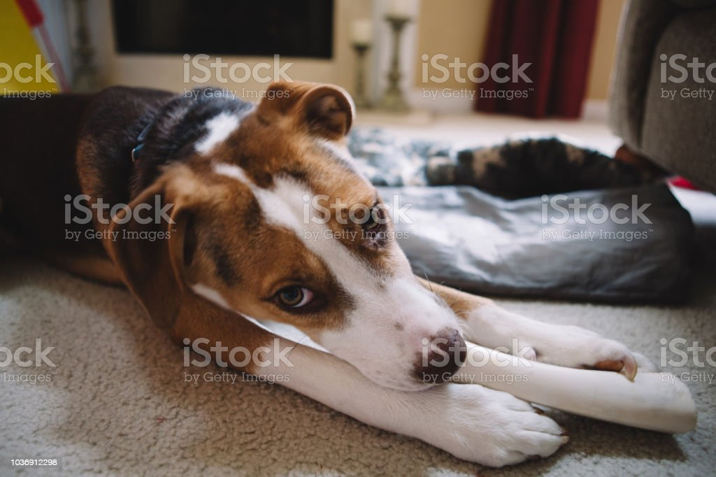 dog chewing his bone stock photo