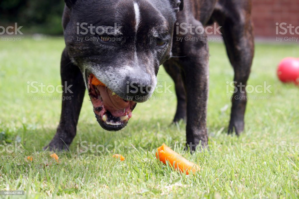 A dog, chewing on a carrot stock photo