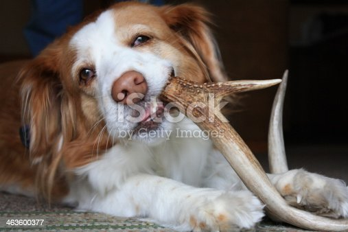 istock Dog chewing on an antler 463600377