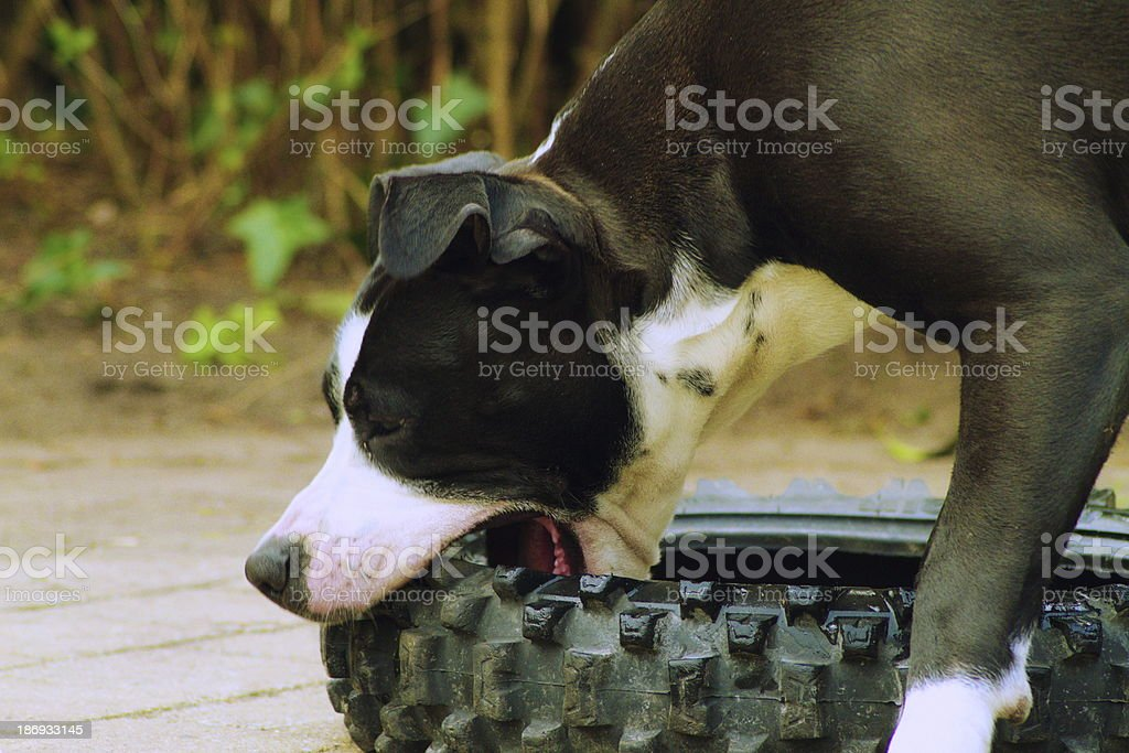 Dog chewing on tire royalty-free stock photo