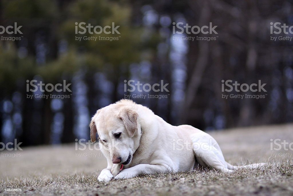 Dog chewing rawhide bone outside royalty-free stock photo