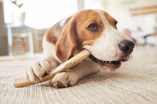 Warm toned close up portrait of cute beagle dog chewing on treats and toys while lying on floor in home interior