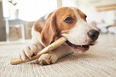 istock Dog Chewing Treats on Floor 1269904334