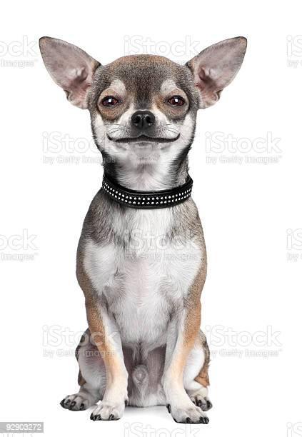 Dog chihuahua looking at the camera smiling picture id92903272?b=1&k=6&m=92903272&s=612x612&h=zpdcjuytf4gp78pjhmb covkznci8x405u xtdzna6m=