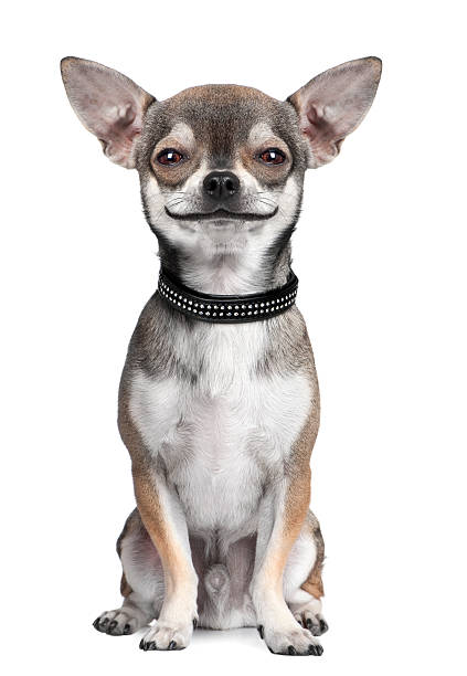 dog: chihuahua, looking at the camera, smiling stock photo