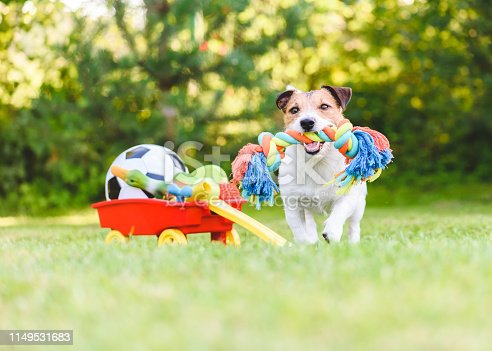 Jack Russell Terrier carrying in mouth colorful dog rope toy