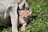 istock Dog cleans the hair of a small cat like a mother 1177680838