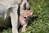 istock Dog cleans the hair of a small cat like a mother 1177681303