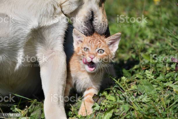 Dog cleans the hair of a small cat like a mother picture id1177681303?b=1&k=6&m=1177681303&s=612x612&h=kek7dl2nk vqpelh4mvq 102lsqtmb8e7kjhoxo3vsy=