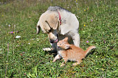 istock Dog cleans the hair of a small cat like a mother 1177683181