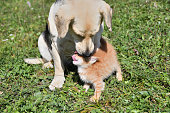 istock Dog cleans the hair of a small cat like a mother 1177683234