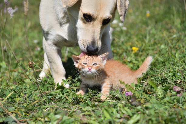 Dog cleans the hair of a small cat like a mother stock photo