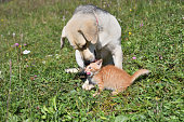 istock Dog cleans the hair of a small cat like a mother 1177684835