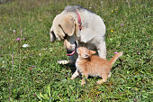istock Dog cleans the hair of a small cat like a mother 1177685016