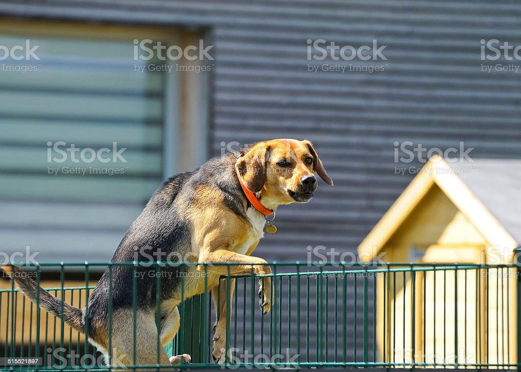 Hund Klettern auf Zaun – Foto