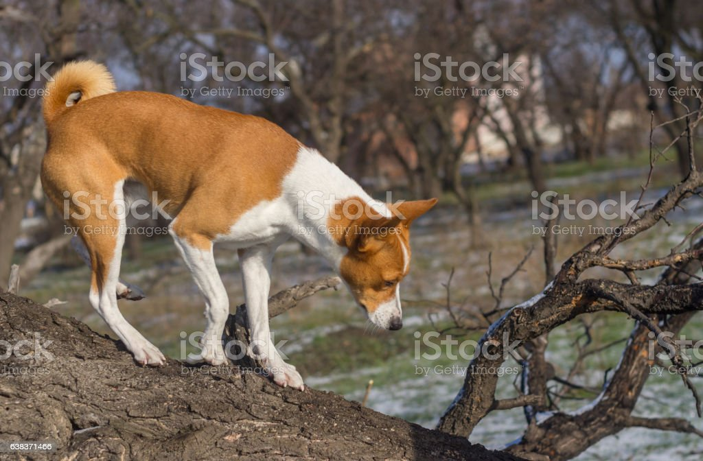 Dog come down from low level tree branch stock photo