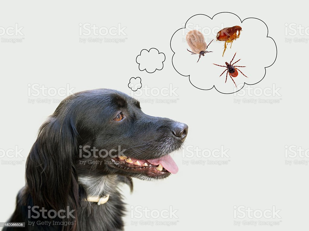 Dog considering health risks of tcks, fleas stock photo