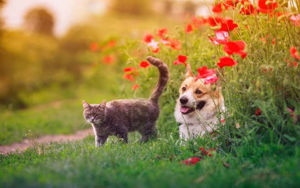 Dog corgi and striped cats sit in a sunny summer garden in a bed of picture id1270582334?b=1&k=6&m=1270582334&s=612x612&w=0&h=kma7c0iyoalu9smrdhzzow3fvommok9 vhgjq2oalyu=
