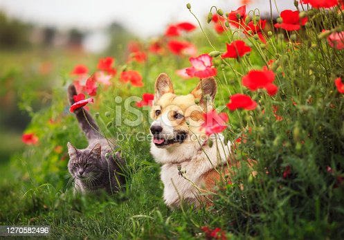 istock dog Corgi and striped cats sit in a Sunny summer garden in a bed of red flowers poppies 1270582496