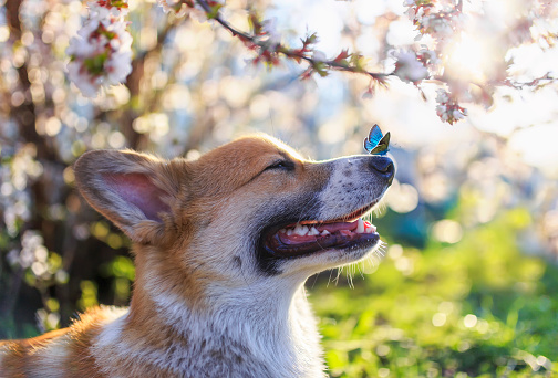 dog Corgi puppy sits in a Sunny spring garden surrounded by branches of a blooming white cherry tree with a small blue butterfly on its nose