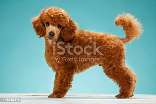 Cute Miniature poodle puppy. Dog.  Portrait of a young  dog, puppy. Very shallow DOF .