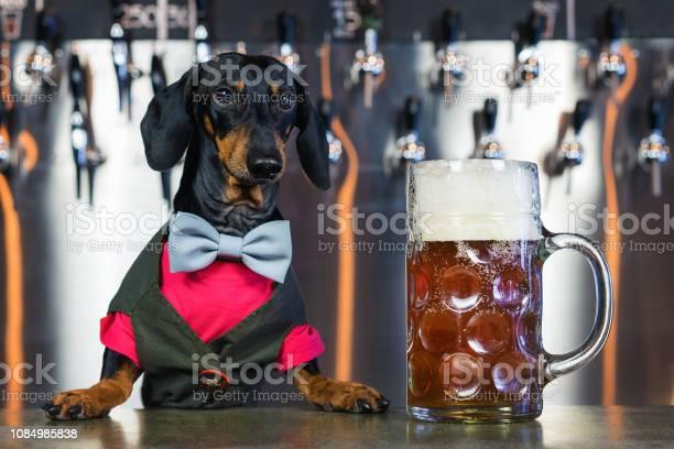 Dog dachshund bartender black and tan in a bow tie and a suit at the picture id1084985838?b=1&k=6&m=1084985838&s=612x612&h=gwp  abxsggqsjbjmg2svsmubz2875wielr75uxa8ny=