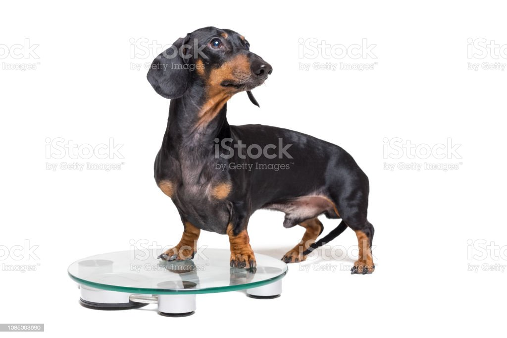 dog dachshund, black adn tan, on a scales, isolated on white background stock photo
