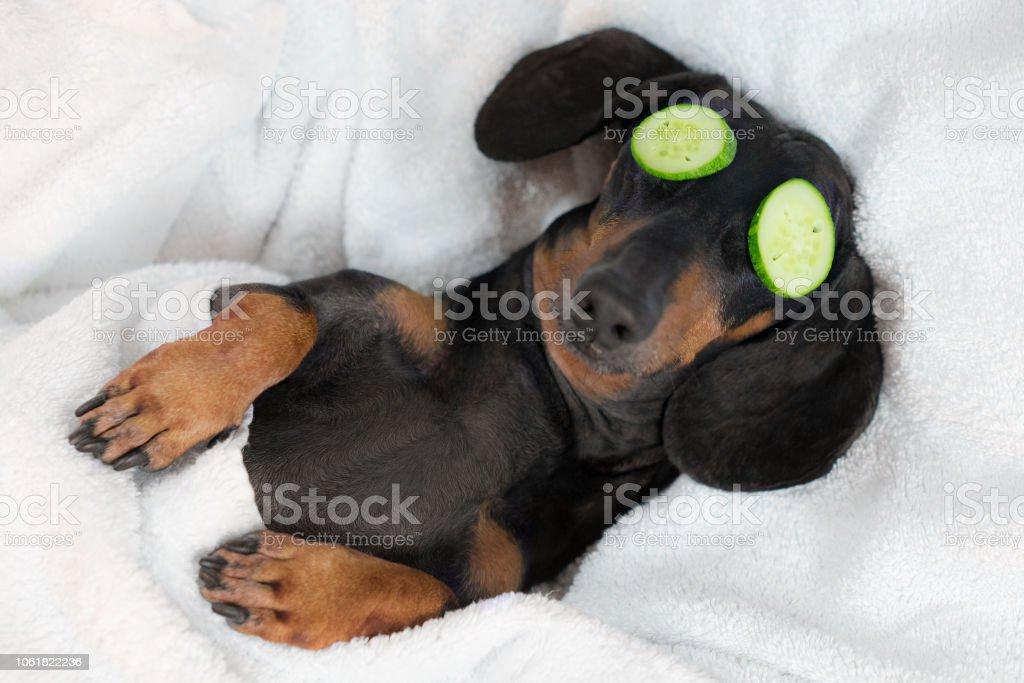 perro salchicha de perro, negro y fuego, relajante de spa tratamientos en la cara con pepino, cubierto con una toalla foto de stock libre de derechos