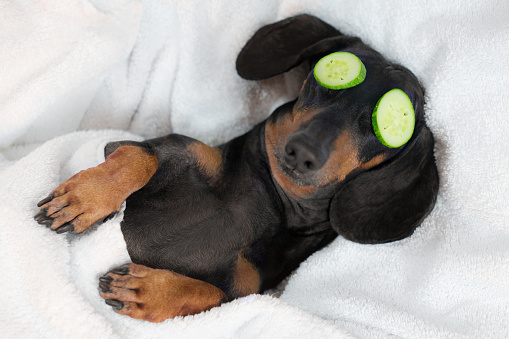 istock dog dachshund, black and tan, relaxed from spa procedures on face with cucumber, covered with a towel 1061822236