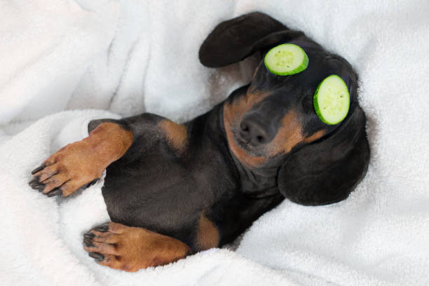 dog dachshund, black and tan, relaxed from spa procedures on face with cucumber, covered with a towel - massaggio foto e immagini stock